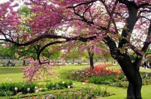 Printemps-cerisiers-en-fleurs