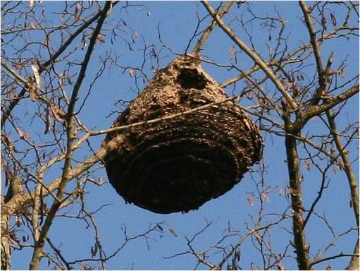 nid-frelon-asiatique-0