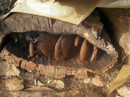 Ruche en chêne liège (Maroc)
