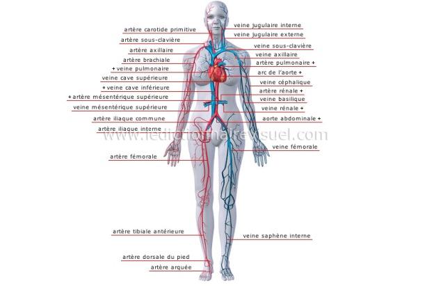 principales-veines-et-arteres-84700